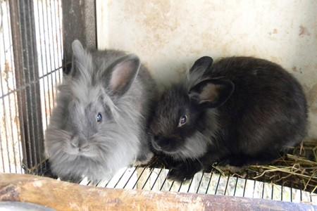 Giulietta (grigia) e Romeo (nero)